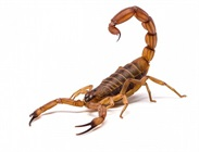 Fossil is the Oldest Known Scorpion