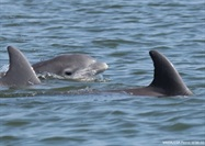 Advanced Ultrasounds Can Save Dolphin Pregnancies, Even in the Wild