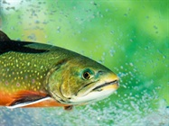 Answers to Microbiome Mysteries Found in Rainbow Trout