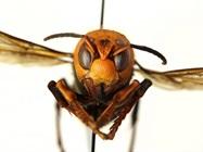 'Murder Hornets' Could Decimate U.S. Honey Bee Population