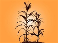 Cahokia's Rise Parallels Onset of Corn Agriculture