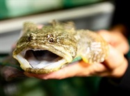 Study: Music Festival Was Stressful to Toadfish