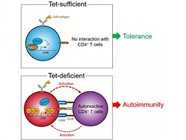 The Protein that Stands Between Us and Autoimmunity