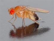 Drug Increases Lifespan of Fruit Flies, Points Way Toward Human Longevity
