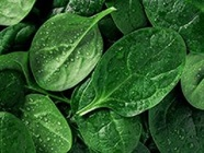 Study Shows Spinach Can Power More than Just Popeye