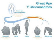 Sequencing of Y Chromosome Lends Clues About Ape Evolution, Human Fertility