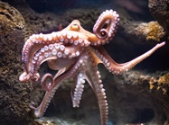 Octopus-inspired Device Transfers Thin, Delicate Tissue Grafts and Biosensors