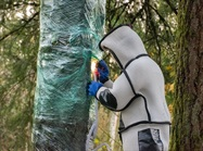 1 Down, 3 To Go: Entomologists Eradicate First Asian Giant Hornet Nest in U.S.