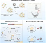 CRISPR Screen IDs Genes, Drug Targets to Protect Against SARS-CoV-2 Infection