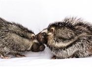 The Secret Lives of Giant Poisonous Rats
