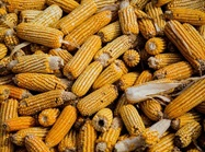 Soil Degradation Costs U.S. Corn Farmers a Half-billion Dollars Annually